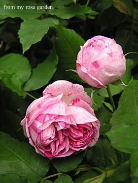 オノリ−ヌデブラバン3