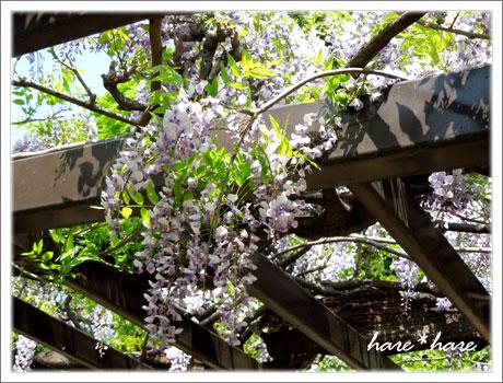 高崎公園藤の花