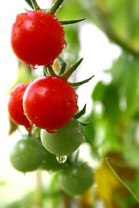 tomato_a