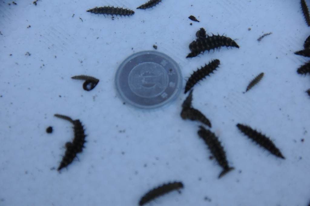 ゲンジボタルの幼虫
