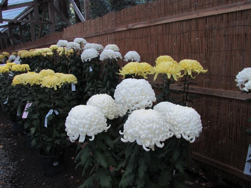 菊祭りに出品された菊