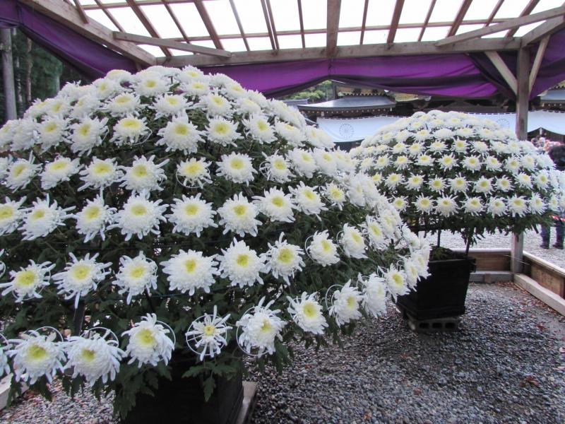 見事な菊花