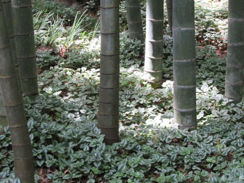 お抹茶を見ながら眺める竹林(報国寺)