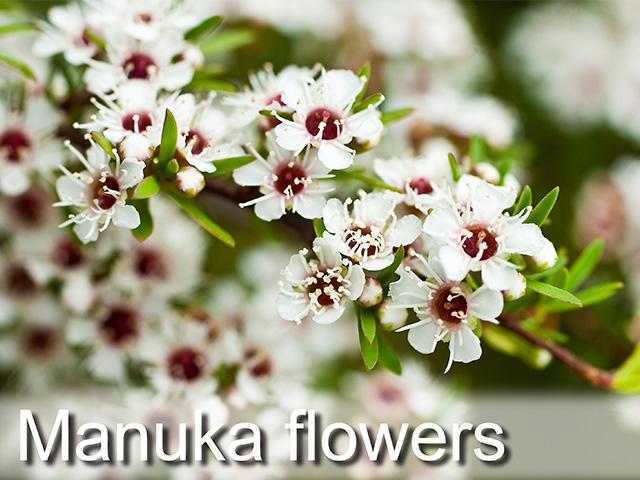 マヌカのお花