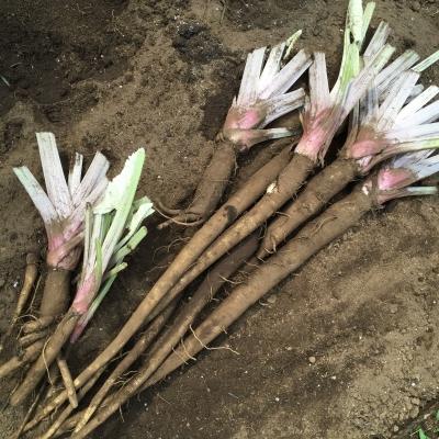 ごぼうの収穫