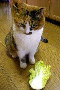 ミイコと白菜