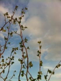マルバの木
