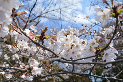 20160327SWAC東京お花見057.JPG