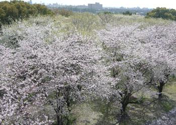 桜の森-右