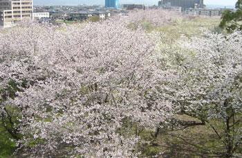桜の森-左
