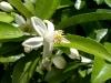 甘夏柑の花