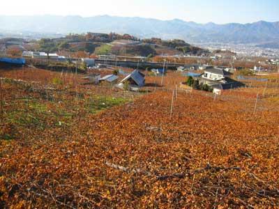 葡萄の葉紅葉