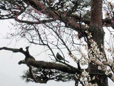 梅の花と鳥