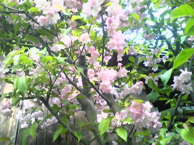 20120418海棠桜