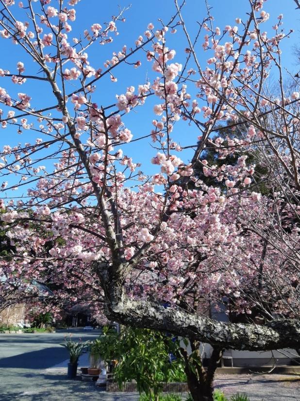 熱海桜1.jpg