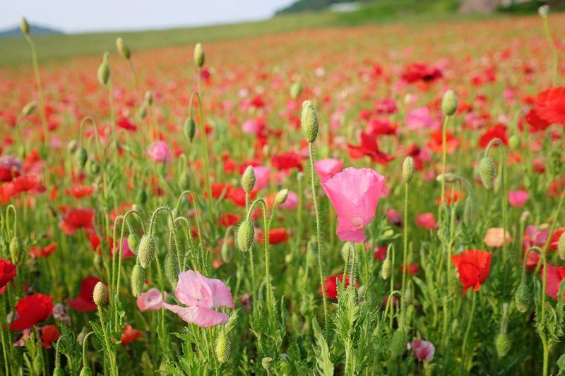 poppy05.jpg