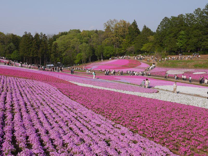 shibazakura04.jpg