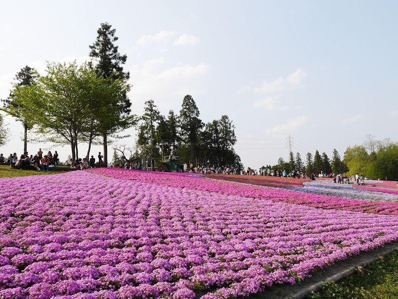shibazakura06.jpg