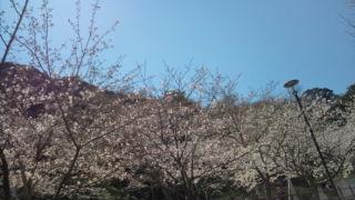 館山城の桜まだ