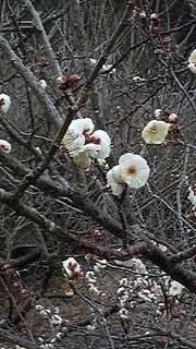 梅の花ブログ.jpg