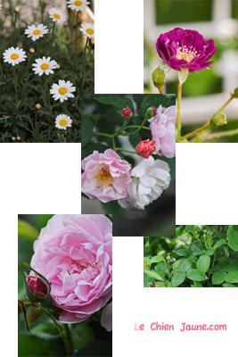 Ayaさんちのバラたち