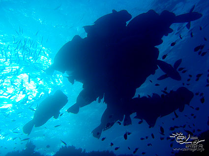カンムリブダイ/Humphead Parrotfish/Bolbometopon muricatum