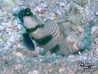 ギンガハゼ/Yellow shrimpgoby/Cryptocentrus cinctus
