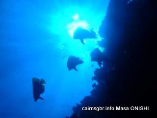 GBR Dusky batfish