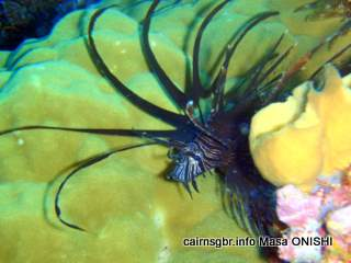 GBR Lionfish