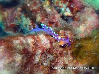 GBR Much-desired Flabellina