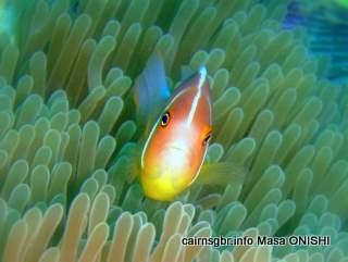 GBR pink anemonefish