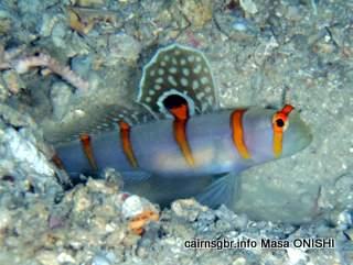 GBR Randalls Shrimpgoby