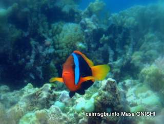 GBR red and black anemonefish