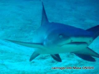 GBR Whitetip Reefshark