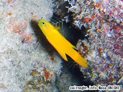 イエローデビルフィッシュ/Assessor flavissimus/Yellow devilfish