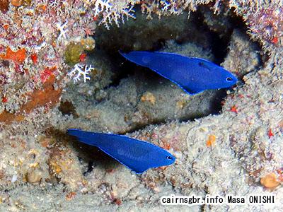 ブルーデビルフィッシュ/Assessor macneilli/Blue devilfish