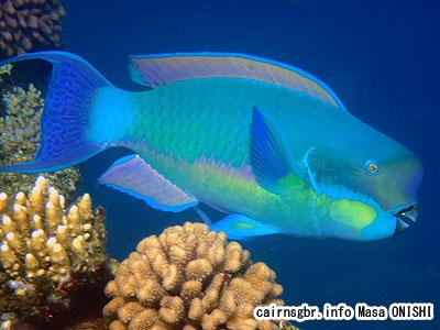 ナンヨウブダイ/Chlorurus microrhinos/Big blue parrotfish,Steephead parrotfish,Gibbus parrotfish