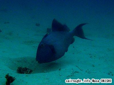 イソモンガラ/Pseudobalistes fuscus/Yellowspotted trigerfish