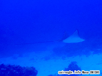 マダラトビエイ/Aetobatus narinari/Spotted eagle ray