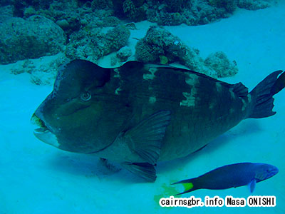 カンムリブダイ/Bolbometopon muricatum/Green Humphead Parrotfish