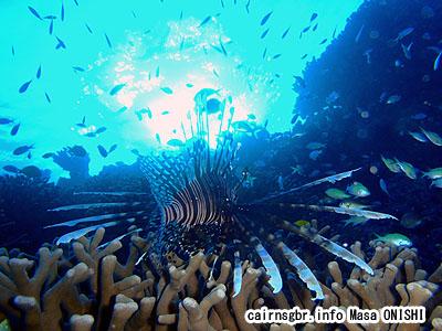 ハナミノカサゴ/Pterois volitans/Red lionfish