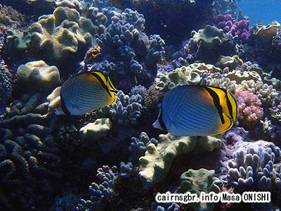 トゲチョウチョウウオ/Chaetodon auriga/Threadin Butterflyfish