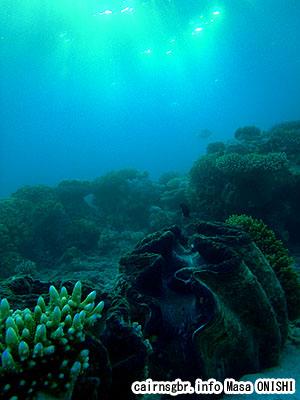 オオシャコガイ/Giant clam/Giant clam