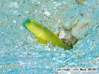 ギンガハゼ/Cryptocentrus cinctus/Yellow shrimpgoby