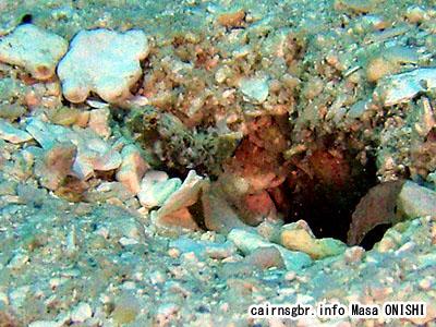 レイドシュリンプゴビー/Tomiyamichthys sp/Rayed Shrimpgoby