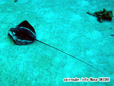 Himantura fai/Tahitian Stingray