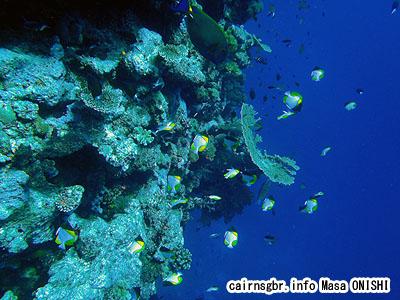 カスミチョウチョウウオ/Hemitaurichthys polylepis/Pyramid butterflyfish, Shy butterflyfish, Helmet butterflyfish