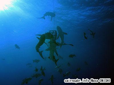 コーラルシーでシャークフィーディング/サメの餌付け