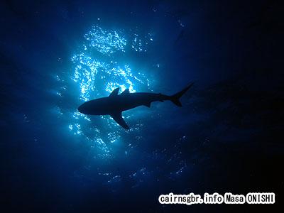 コーラルシーでサメのシルエット