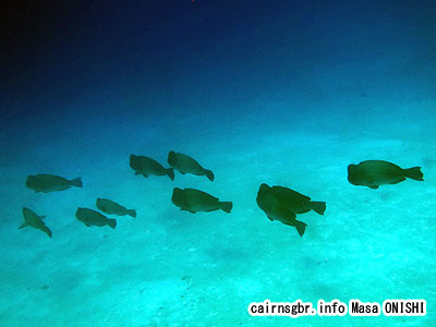 カンムリブダイ/Bolbometopon muricatum/Baffalo fish, Humphead parrotfish